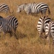 Stock Photo: Zebra Family