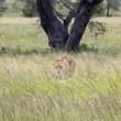 Lioness - Safari in the Serengeti National Park - Tanzania — Stock Photo