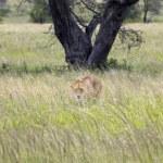 Lioness - Safari in the Serengeti National Park - Tanzania — Stock Photo #11218210