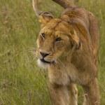 Lioness — Stock Photo #11218271