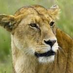 Lioness — Stock Photo #11218285