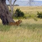 Lioness — Stock Photo #11218286