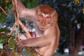 Monkey on the tree — Stock Photo
