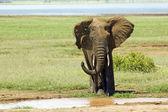 Elephant Mud shower — Stock Photo