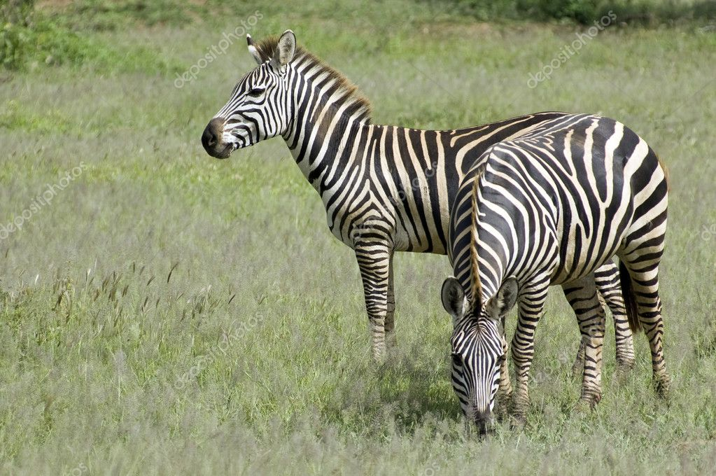 Two beautiful zebra in the grass - Serengeti - Tanzania  Stock Photo #11218352