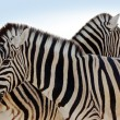 Zebra Family - 