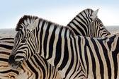 Zebra Family — Stock Photo