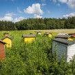 Beehives on field in Poland — Stock Photo