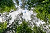 Puszcza knyszynska taze yeşil ağaçların — Stok fotoğraf
