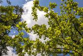 Hintergrund des grünen eichenlaub — Stockfoto
