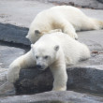 Two white bear cub lying on stones — Stock Photo