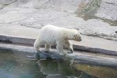 White bear cub going on stones — Stock Photo