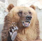 The brown bear welcomes with a paw — Stock Photo