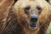 The brown bear close up, wild life — Stock Photo