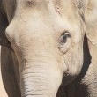 Close up of the head and eye of an asian elephant — Stock Photo #11359340