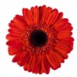 Red gerbera on white — Stock Photo