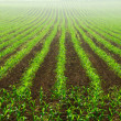 Rows of young corn plants — Stock Photo