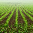 Rows of young corn plants — Stock Photo #11543123