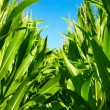 In the middle of the corn plants — Stock Photo #11543127