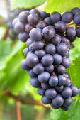 Ripe blue grapes in a vineyard — Stok fotoğraf