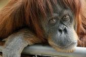 Beautiful orangutan looking into the camera — Stock Photo
