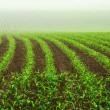 Rows of young corn plants - Stockfoto