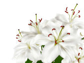 Bunch of large white lilies isolated — Stock Photo