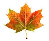 Perfect colorful autumn leaf — Stock Photo