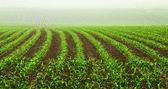 Rows of young corn plants — Foto Stock