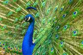 Majestic peacock — Stock Photo
