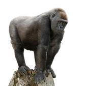 Gorilla on tree trunk, isolated — Stock Photo