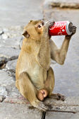 LOPBURI THAILAND - FEB 16 : Monkey enjoys drinking Coca Cola in — Stock Photo