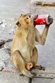 LOPBURI THAILAND - FEB 16 : Monkey enjoys drinking Coca Cola in — Stock Photo