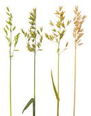 Oat collection — Stock Photo