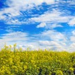 Stock Photo: Agriculture in yellow field.