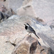 Wagtail bird — Stock Photo #11376743