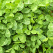 Sunny clover leaves — Stock Photo