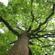 Stock Photo: Green oak tree