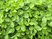 日当たりの良いクローバーの葉 — ストック写真