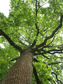 Green oak tree — Foto de Stock