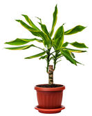 Houseplant Dracaena fragans — Stock Photo