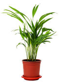 Houseplant Areca — Stock Photo