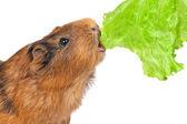 The guinea pig eats a lettuce leaf — Stock Photo