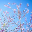Stock Photo: Pink Blossom