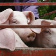 Pig pork domestic animal agriculture — Stock Photo #11041286