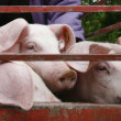 Pig pork domestic animal agriculture — Stock Photo