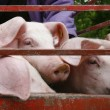 Stock Photo: Pig pork domestic animal agriculture