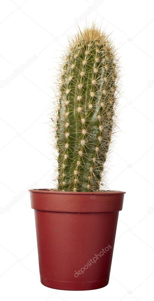 Kaktus haus pflanzen vegetation natur flora stockfoto picsfive 11169668 - Kaktus zimmerpflanze ...