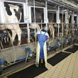 Cow farm agriculture milk automatic milking system — Stock Photo #11202957