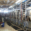 Cow farm agriculture milk automatic milking system — Stock Photo